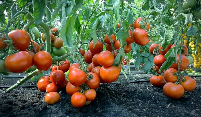 Тепличные помидоры.